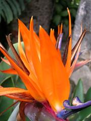 Flor Cuernavaca (Jos Miguel (and)) Tags: flor naranja jardin exotica