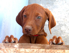 DOGS VIZSLA (rohaca) Tags: dog dogs interestingness vizsla explore perros flickrexplore roberthall rohaca robertohallcapek