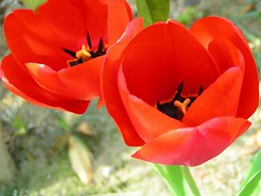 Red sisters (hexion) Tags: red rouge minolta pair tulip urbannature z1 konicaminolta