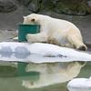 Hungry Polar Bear (bikeracer) Tags: bear reflection cute green water 1025fav zoo bucket humorous bronx bowl blogged hungry paws polar sorryevaluation interestingness94 i500 explore18apr05