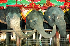 chain reaction (phitar) Tags: 2002 3 elephant topf25 animal trois wow thailand three humor elephants trio triplet supplychain transmission logistics supply chainreaction phitar supplychainmanagement bluelist
