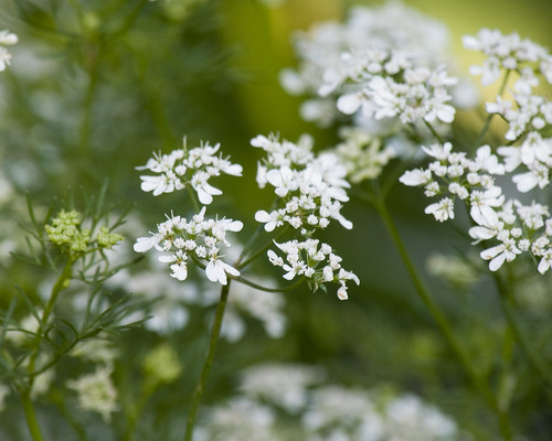 Cilantro Flowers by Andy Ciordia.