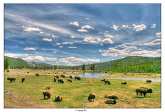 Band of Brothers (Arnold Pouteau's) Tags: nature nationalpark buffalo wildlife yellowstone wyoming np bison hdr