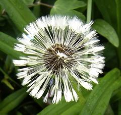 Pusteblume verregnet (Gakas) Tags: dandelion lwenzahn pusteblume blowball