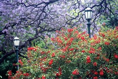 Ceibo and jacarand's flowers (suchard2u2) Tags: flowers trees argentina colors landscape buenosaires squares jacarand plazasanmartn 1on1 ceibo gardenstatuary parklamps favoritegarden