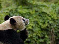 Rodin's Thinker Panda (Alexandre Duarte) Tags: china deleteme5 deleteme8 deleteme deleteme2 deleteme3 deleteme4 deleteme6 deleteme9 deleteme7 panda saveme4 saveme5 saveme saveme2 deleteme10 beijing