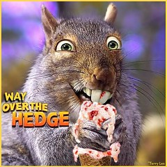 Over the Hedge (Terry_Lea) Tags: squirrel squirrels photoshopfun tbas