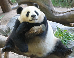 This is the closest I have ever been to Bai Yun:) (kjdrill) Tags: china california bear blackandwhite station giant zoo panda sandiego bears think belly sit dreamy sprawl yun baiyun bai endangeredspecies sdzoo reseach fface frontf