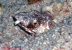 Snake Eel (Borneo-Aquanerds) Tags: reef roach sabah