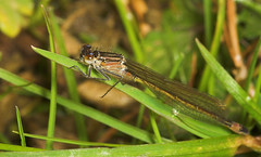"""Large Red Damselfly (pyrrhosoma nymph(4) • <a style=""""font-size:0.8em;"""" href=""""http://www.flickr.com/photos/57024565@N00/159163605/"""" target=""""_blank"""">View on Flickr</a>"""