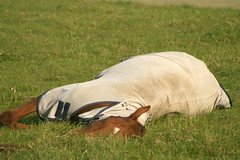 Sleepy Fella (nick3216) Tags: uk horse caballo cheval unitedkingdom sleep sleepy cal lazy pferde cavallo cavalo hest hevonen paard  gelding  hannoverian hast kon