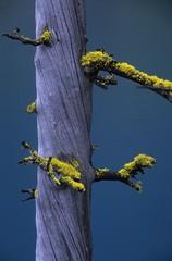 Corkscrew (velvia rules!) Tags: light tree nature fv5 lichen baum enchantments alpinelakeswilderness flechten colchucklake