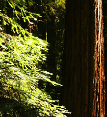 """""""From the redwood forests..."""" (Sharon Mollerus) Tags: california trees forest woods grove redwoods mendocinocounty 123nature 1on1nature hendywoodsstatepark"""
