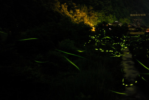The glow of fireflies