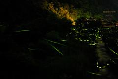 The glow of fireflies (Giyu (Velvia)) Tags: hiroshima firefly kawane 祭り 50mmf14d nikond200 川根 ほたる祭り