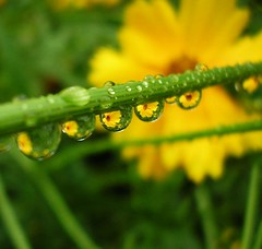 Yellow flowers in raindrops 1 (tanakawho) Tags: flower macro reflection green yellow closeup bravo waterdrop searchthebest topv999 line topf100 raindrop blueribbonwinner specnature btly cotcbestof2006 karmapotd tccomp087 diamondclassphotographer afterclass2016
