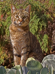 African Wild Cat (Felis silvestris) (Nature Photographer) Tags: southafrica bloemfontein freestate felissilvestris kingdomanimaliaanimals phylumchordatavertebrates classmammaliamammals ordercarnivoracarnivores familyfelidaecats takeninacontrolledenvironment africanwildcat vaalboskat