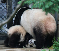 Mommy can't find me here (somesai) Tags: animal panda tian tai nationalzoo tush endangered pandas meixiang pandacub taishan dczoo butterstick on4 headtogrd
