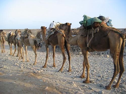 Camels in line
