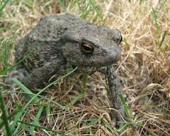 Grumpy Toad (weemeeuw) Tags: toad