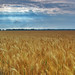 Shined Wheat Field, by globalindex