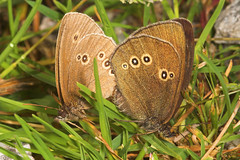 """Ringlet Butterflies Mating(1) • <a style=""""font-size:0.8em;"""" href=""""http://www.flickr.com/photos/57024565@N00/189455367/"""" target=""""_blank"""">View on Flickr</a>"""