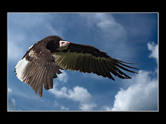 White headed vulture (Trigonoceps occipitalis) (edited) (guenterleitenbauer) Tags: pictures bird nature birds animal animals fauna canon zoo