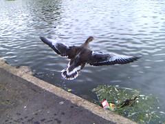 Canadian Goose - Waterworks, Belfast (VMOS) Tags: belfast goose waterworks