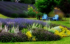All This Scene Needs Is a Couple of Mike's Hard Lemonades... (1bluecanoe) Tags: blue garden purple chairs lavender july sequim wa feature saywa 1bluecanoe wstpic07 favoritegarden