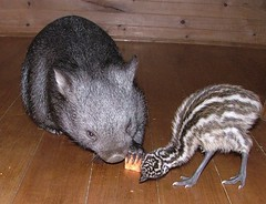 Topaz and Sesame Seed (Sandy Fernee) Tags: baby animal wildlife australian sharing emu wombat