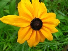 Black Eyed Susan (inkfeather) Tags: flowers summer blackeyedsusan