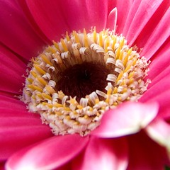 gerbera daisy (Vanessa Pike-Russell) Tags: birthday pink flowers plant macro closeup petals hit interesting pretty colours catchycolours bokeh vibrant bestviewedlarge australia finepix nsw bunch mostinteresting fujifilm bouquet popular upclose mop wollongong myfaves s5600 explored theworldthroughmyeyes lilcrabbygal vanessapr mootrade vanessapikerussellcom vanessapikerussell