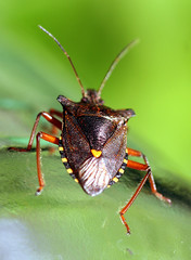 Forest Shield Bug (balsamia) Tags: bug insect forestbug truebug pentatomarufipes tege breitege