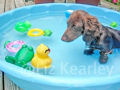 Frog/Duck/Dog Conference (Doxieone) Tags: blue summer dog brown hot green topf25 water pool yellow swimming puppy fun interestingness nikon long teddy chocolate dachshund frog explore 101 v final exploreinterestingness hi haired rubberduck 803 1002 longhaired ourdogs onexplore final2 topfavorite explored abigfave 83541818 93045916 doxieone101 12205551907 131355729 teddyset 138456928 160356031708 161756033108 ddate pup2011 pupsinpoolset