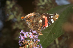 "Red Admiral Butterfly (vanessa atalan(9) • <a style=""font-size:0.8em;"" href=""http://www.flickr.com/photos/57024565@N00/201672234/"" target=""_blank"">View on Flickr</a>"