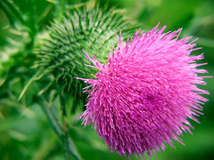 Bull Thistle (goldenpath) Tags: flowers thistle fujifinepixs5100 bullthistle 4macro
