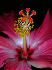 Hibisco (gi varga.) Tags: flowers macro explore flr