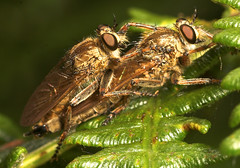 "Mating Robberflies  (dysmachus trigonus) • <a style=""font-size:0.8em;"" href=""http://www.flickr.com/photos/57024565@N00/205695309/"" target=""_blank"">View on Flickr</a>"