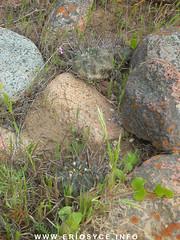 JA58_E-heinrichiana05.jpg (Spiniflores) Tags: heinrichiana setosiflora eriosyceheinrichiana ja128
