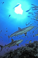 reef sharks with sun (ScottS101) Tags: ocean nature danger ilovenature scary marine nw jaw teeth scuba diving jaws sharks shearwater bahamas allrightsreserved abernathy wilflife animalencounters ilovetheocean specanimal animalkingdomelite carcharinhus copyrightscottsansenbach2008