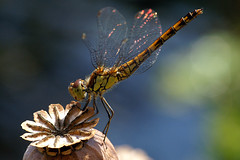 Sympetrum striolatum (♀) (imanh) Tags: dragonfly macro wildlife nature imanh iman heijboer sympetrum striolatum common darter libelle libel