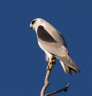 Black-shouldered kite 3 / Australian Kite