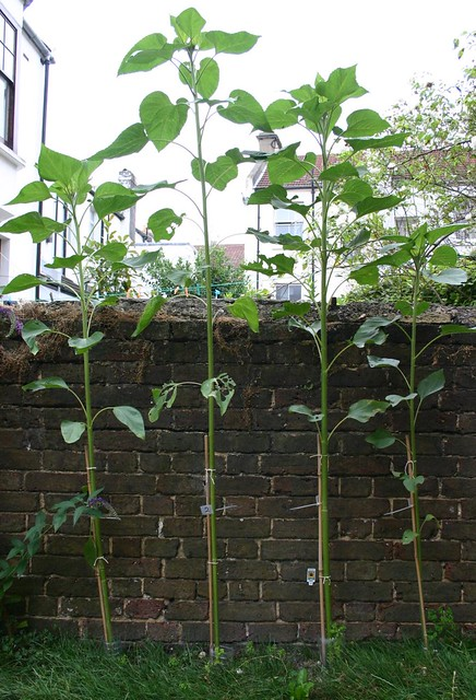 Sunflower Competition - day 72