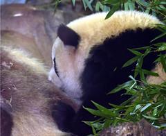 Getting his vitamin D (somesai) Tags: panda tian tai nationalzoo endangered pandas meixiang taishan dczoo butterstick pandaunlimited