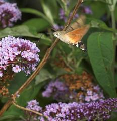 "Hummingbird Hawkmoth (macroglossum st(3) • <a style=""font-size:0.8em;"" href=""http://www.flickr.com/photos/57024565@N00/220168094/"" target=""_blank"">View on Flickr</a>"