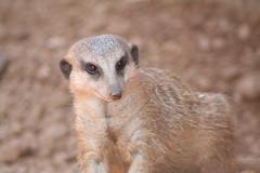 Meerkat (eschipul) Tags: brown eyes meerkat texas houston