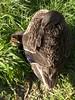 Duck (sitharus) Tags: newzealand zoo duck raw duckling wellington e300