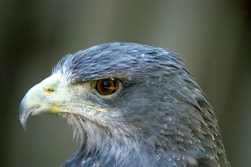 Águila Mora - Geranoaetus melanoleucus - Grey Buzzard Eagle