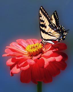 Sonoma Swallowtail Redux