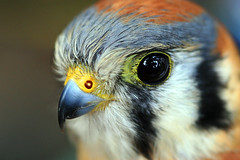 Portrait (` Toshio ') Tags: macro bird closeup bravo state hawk quality statefair maryland fair american americankestrel kestrel toshio marylandstatefair falcosparverius specanimal animalkingdomelite akimageoftheday abigfave 30faves30comments300views potwkkc13